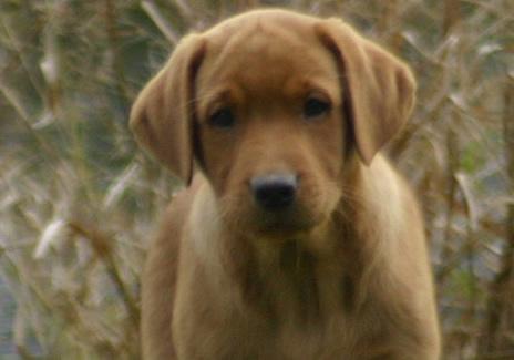 Breeders labrador retrievers uk